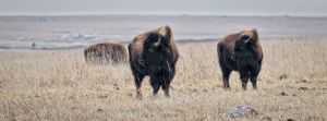 American Bison - Blue Mounds State Park MN