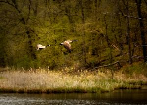 Canada Geese Takeoff - Central MN